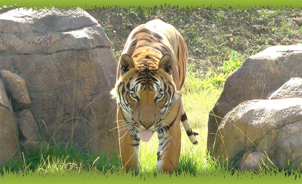 Promotional video for Hamerton Zoo